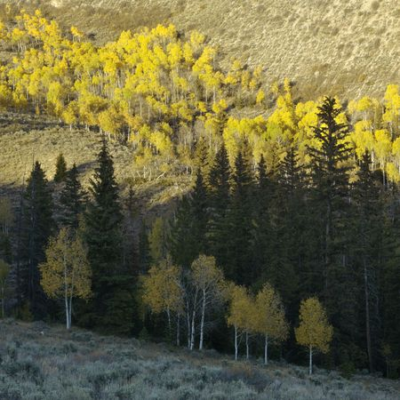 quaking aspen: Landscape with Aspen trees in Fall color in Utah. Stock Photo