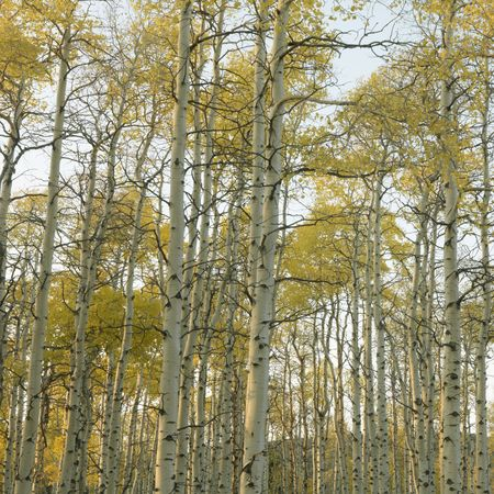 quaking aspen: Aspen trees in Fall color in Utah.