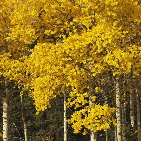 quaking aspen: Aspen trees in yellow fall color in Wyoming. Stock Photo