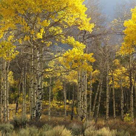 Aspen trees in yellow fall color in Wyoming. Stock Photo