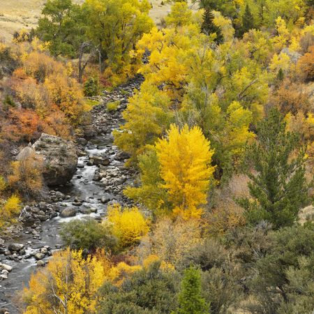 quaking aspen: High angle view of forest in Fall color with rocky stream running through it.