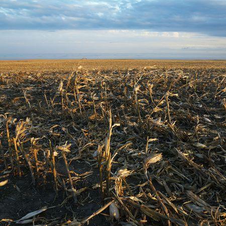 dakota: Dead cornfield in rural South Dakota.