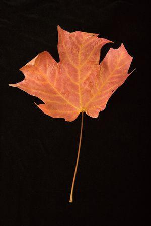 red maple leaf: Red maple leaf against black background.