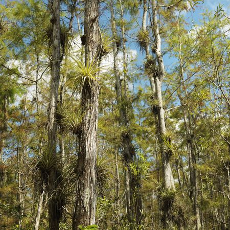 Airplants growing on cypress trees in Everglades National Park, Florida. photo