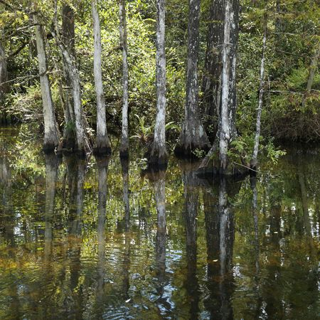 Cypress trees in wetland of Everglades National Park, Florida, USA. Stock Photo - 2245594