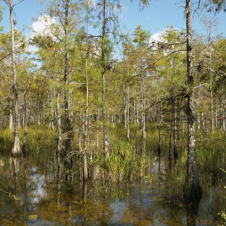 Cypress trees in wetland of Everglades National Park, Florida, USA. Stock Photo - 2245548