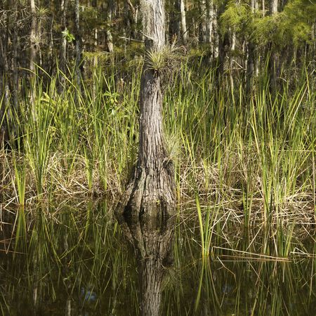 cypress tree: Cypress tree in wetland of Everglades National Park, Florida, USA.