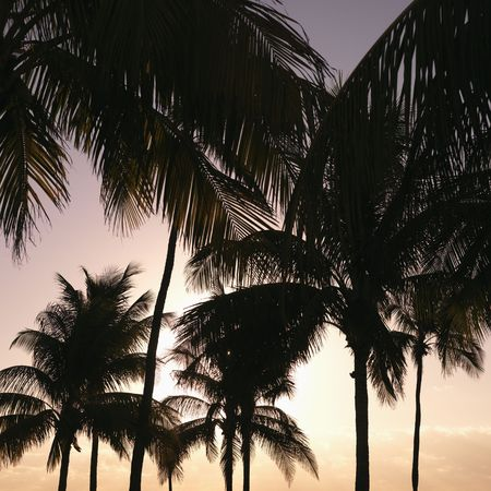 sunshine state: Palm trees against warm sunset colored sky in Miami, Florida, USA.