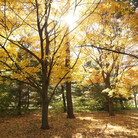 norway maple: Maple trees in Fall color.