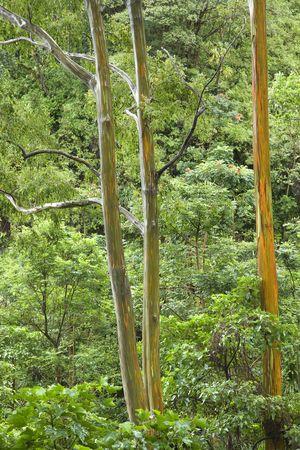 Rainbow Eucalyptus trees, Maui, Hawaii, USA. photo