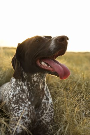 panting: German Shorthaired Pointer with panting tongue in field.