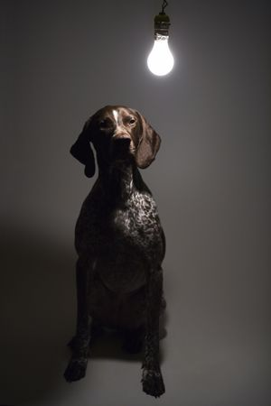 shorthaired: German Shorthaired Pointer with lit lightbulb hanging above.