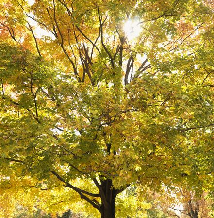 aceraceae: Maple tree in autum with colorful leaves.