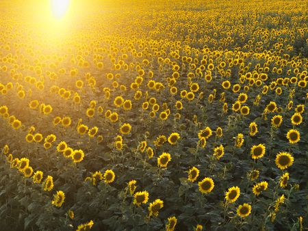 Field of sunflowers with sunshine. Stock Photo - 2537847