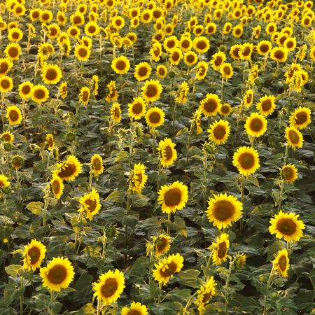 similarity: Field of sunflowers. Stock Photo