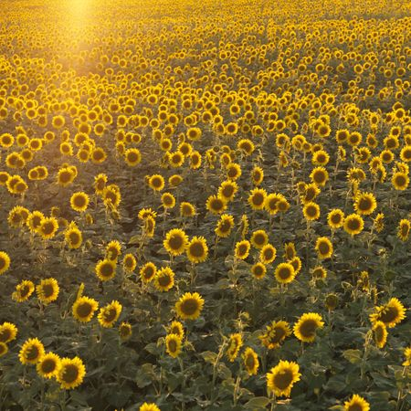 helianthus annuus: Agricultural field of sunflowers.
