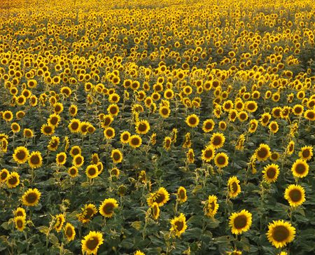 Field of many sunflowers. photo