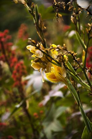 Yellow gladiolus flowers in bloom. photo