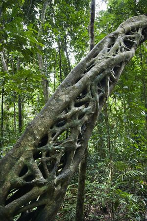 daintree: Strangler vines on tree growing in Daintree Rainforest, Australia. Stock Photo
