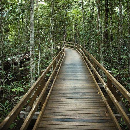 daintree: Wooden boardwalk through forest in  Daintree Rainforest, Australia.