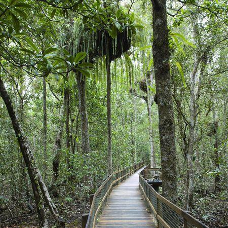 daintree: Wooden walkway in Daintree Rainforest, Australia.