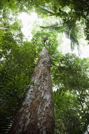 daintree: Low angle view of tall trees in Daintree Rainforest, Australia.