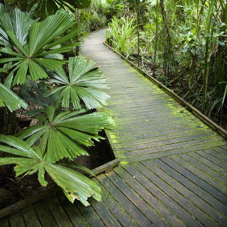 daintree: Wooden walkway through Daintree Rainforest, Australia.