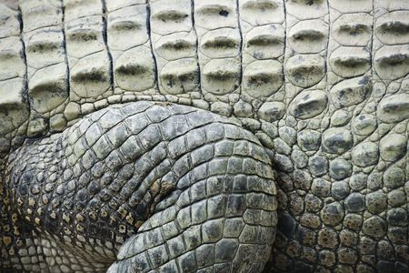 Close up of side of crocodile showing scaly skin, Australia. Stock Photo - 2655278