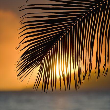 palm frond: Palm frond al tramonto oltre oceano e Maui, Hawaii.  Archivio Fotografico