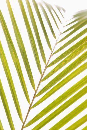 palm frond: Fronda di palma, con sfondo bianco. Archivio Fotografico