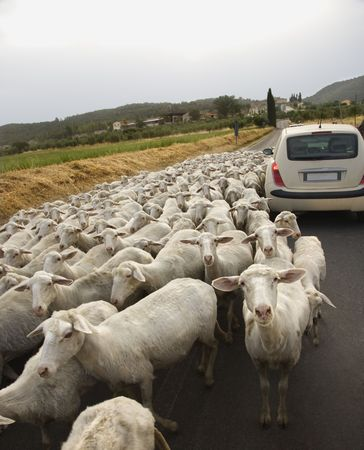 tilted view: Tilted view of sheared sheep on rural road with a car trying to pass. One sheep is looking at the camera. Vertical shot.