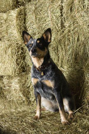 australian shepherd: Australian Shepherd sitting amongst bales of hay in a barn. Vertical shot. Stock Photo