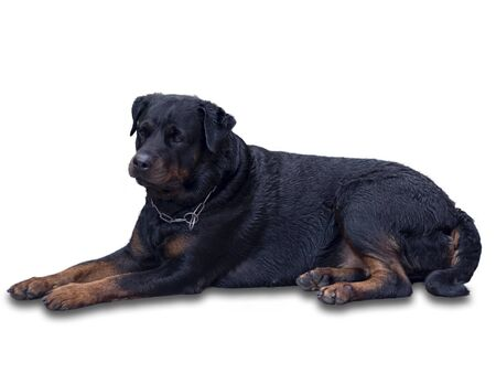 Female Rottweiler dogs that look kind and non-aggressive.