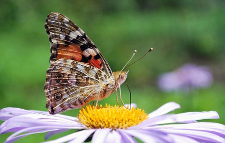 butterfly on blue aster flower close up photo