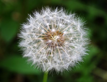 dandelion on a green background photo