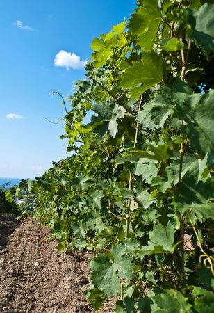 The vineyard field in the south of Crimea photo