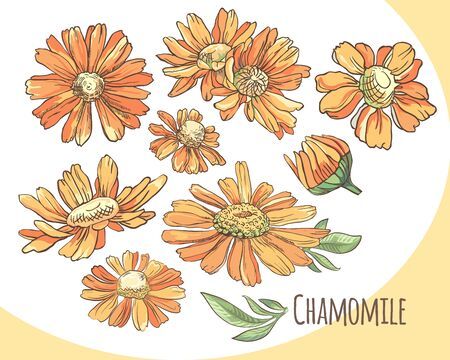 Set of orange camomile. Collection of summer flowers. Vector . Ilustrace