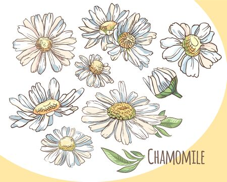 Set of white camomile. Collection of summer flowers. Vector illustration.
