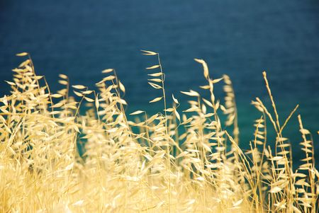 Set of gold dry spikelets with sea in the background during summer time. Crimea, Balaklava, Ukraine