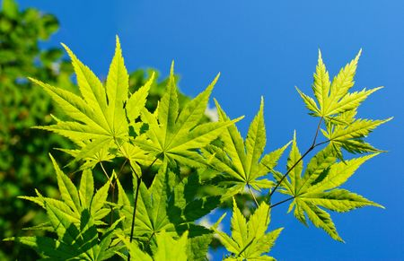 Green full moon maple. Japan garden photo