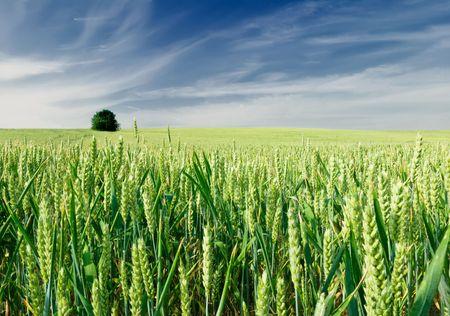 espiga de trigo: Campo de trigo  Foto de archivo