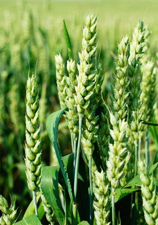 Wheat Stock Photo - 7461151