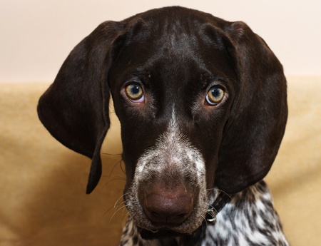 German shorthaired puppy pointer Stock Photo