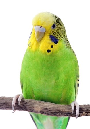 Green and yellow budgie in front of a white