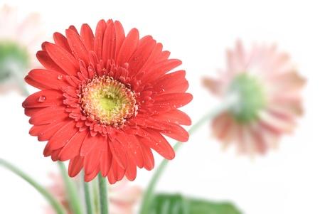 Gerbera Daisy. Focus on the first flower photo