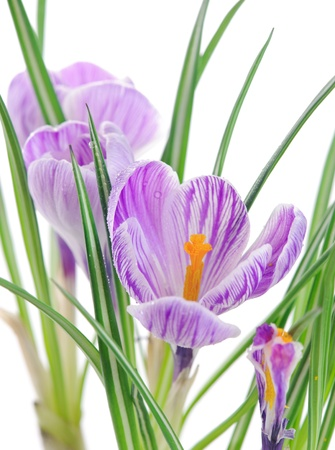 close up of crocuses in white background. shallow deep field