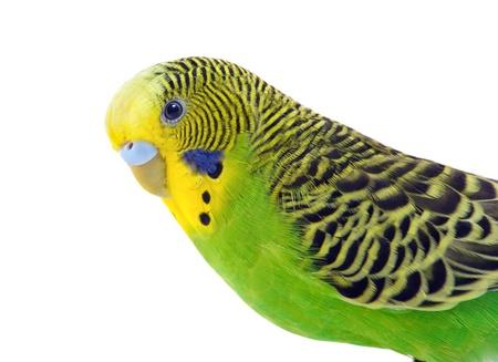 periquito: Periquito verde y amarillo frente a un blanco