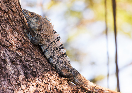 Black spiny-tailed Iguana Stock Photo