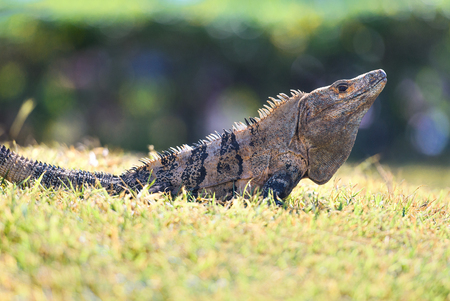 Spiny-tailed Iguana on grass in Costa Rica