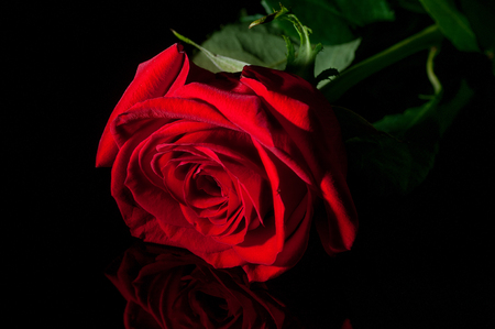 reflexive: Single red rose in low key shot in studio with artificial lights on a reflexive board